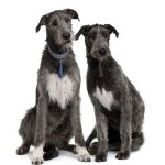 irish-wolfhounds
